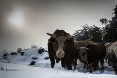 Vache et veau - paysage de neige photos stock