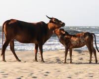 Vache et veau sur la plage sablonneuse, Goa Photographie stock