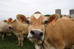 Vache faite face drôle Photos libres de droits