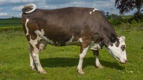 Vache femelle simple Photographie stock