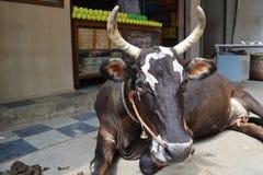 Vache foncée Images libres de droits