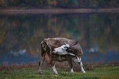 Vache frôlant dans le pré photo stock