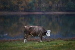 Vache frôlant dans le pré photos libres de droits