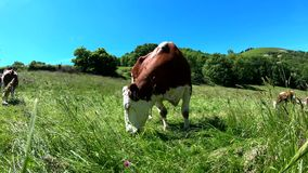 Vache frôlant dans le pré avec le ciel bleu clips vidéos