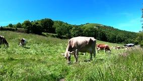 Vache frôlant dans le pré avec le ciel bleu banque de vidéos