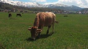 Vache frôlant dans un pré clips vidéos