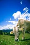 Vache frôlant sur la côte photo stock