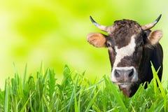 Vache frôlant sur le champ de ferme Photos stock