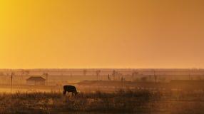 vache frôlant à une ferme, coucher du soleil Photographie stock libre de droits