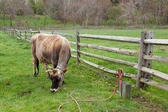 Vache frôlant dans la basse cour Images libres de droits