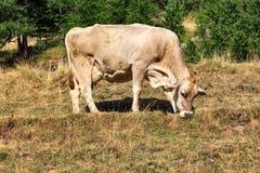 Vache frôlant en collines de Livigno, Italie Photographie stock