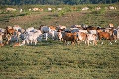 Vache frôlant sur des terres cultivables photographie stock libre de droits