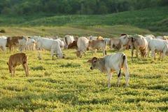Vache frôlant sur des terres cultivables photos libres de droits