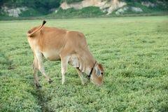 Vache frôlant sur des terres cultivables photos stock