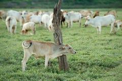 Vache frôlant sur des terres cultivables photo stock