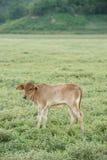 Vache frôlant sur des terres cultivables image stock