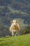 Vache frôlant sur la côte images libres de droits