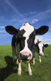 Vache frisonne dans votre visage Images stock