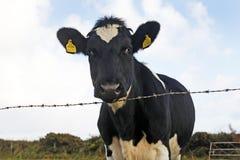 Vache frisonne regardant au-dessus d'une barrière Images libres de droits