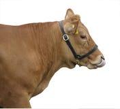 Vache à Gelbvieh léchant son nez Photographie stock libre de droits