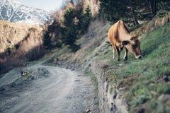 Vache gentille sur la colline verte image stock