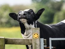 Vache, haut étroit de visage Photos libres de droits