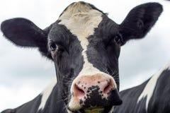 Vache, haut étroit de visage Photos stock