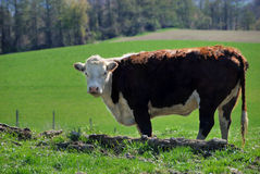 Vache à Hereford Photographie stock libre de droits
