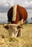 Vache à Hereford frôlant dans le domaine Image stock