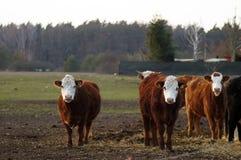 Vache heureuse à ferme dans le saule photos libres de droits