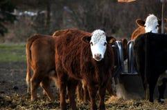 Vache heureuse à ferme dans le saule photographie stock libre de droits