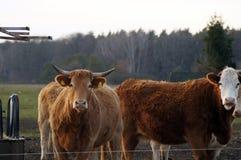 Vache heureuse à ferme dans le saule image libre de droits
