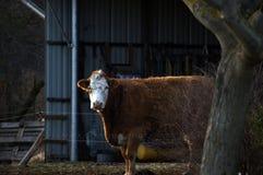 Vache heureuse à ferme dans le saule images stock