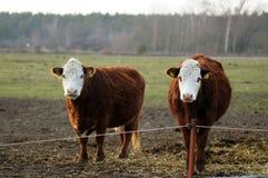 Vache heureuse à ferme dans le saule images libres de droits