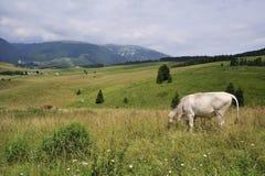 Vache heureuse Images libres de droits