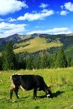 Vache heureuse image stock