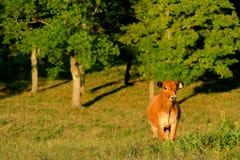 Vache heureuse Photographie stock
