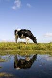 Vache hollandaise Image libre de droits