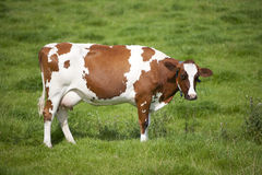 Vache hollandaise Photos stock