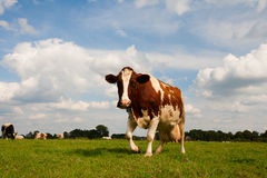 Vache hollandaise Image stock