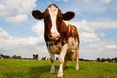 Vache hollandaise Image stock