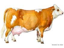 Vache Illustration d'aquarelle de vache Race de vache à traite Race de vache à simmenthal illustration de vecteur