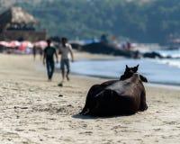 Vache indienne sur la plage Images libres de droits