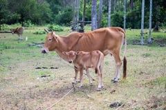Vache indigène thaïlandaise à race Image stock