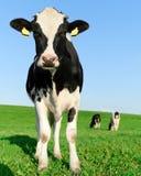Vache investigatrice à Frisian du Holstein photos stock