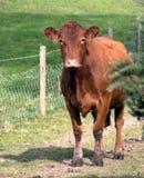 Vache investigatrice Image libre de droits