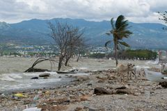 Vache jouant sur le littoral 3 mois après tsunami Palu image stock