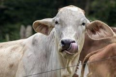 Vache léchant la photo de nez Photos libres de droits