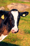 Vache léchant son museau Photo stock