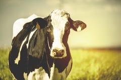 Vache laitière à la campagne, avec le beau ciel à l'arrière-plan Image stock